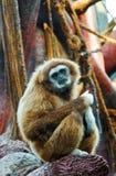 De aap van de huiler royalty-vrije stock fotografie