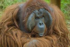 De aap van de orangoetan Royalty-vrije Stock Afbeelding