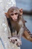 De aap van de resusaap macaque royalty-vrije stock fotografie
