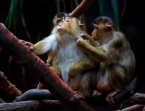 De aap van de resusaap macaque Stock Foto