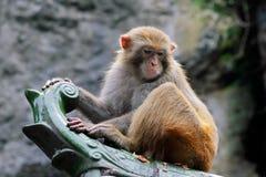 De aap van de resusaap macaque Stock Fotografie