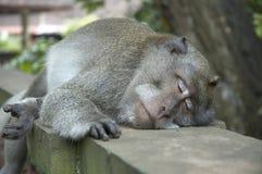 De aap van de slaap stock foto