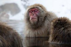 De aap van de sneeuw Stock Foto's