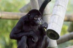 De aap van de spin Stock Afbeeldingen
