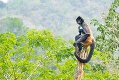 De aap van de spin evenwichtig op boomstam stock fotografie