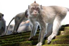 De aap van de tempel royalty-vrije stock fotografie