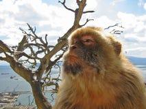 De aap van Gib Stock Afbeeldingen