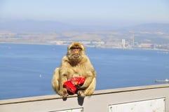 De aap van Gibraltar Stock Afbeelding