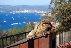 De aap van Gibraltar Barbarije Macaque Royalty-vrije Stock Foto's