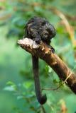 De aap van Goeldi Royalty-vrije Stock Afbeelding