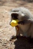 De aap van het fluweel stock afbeeldingen