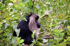 De aap van het lendestukgezicht in de dierentuin van Delhi royalty-vrije stock foto's