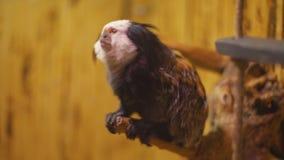 De aap van het ouistitiras stock video