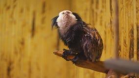 De aap van het ouistitiras stock videobeelden