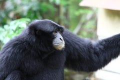 De aap van het portret Royalty-vrije Stock Afbeelding