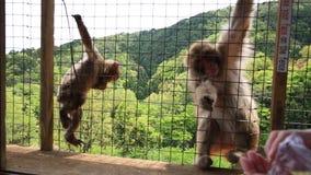 De aap van Kyoto het voeden stock videobeelden