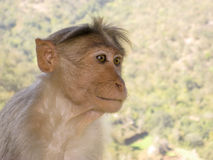 De Aap van Langur in de Reserve van het Wild, India Stock Afbeelding