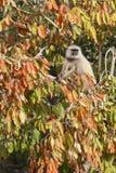 Langur in een boom. Stock Afbeelding