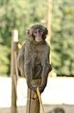 De Aap van Macaque Royalty-vrije Stock Afbeeldingen