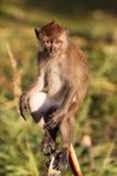 De Aap van Macaque Royalty-vrije Stock Foto's