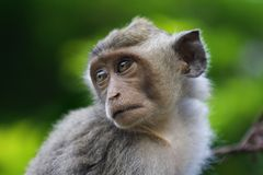 De aap van Macaque Royalty-vrije Stock Foto