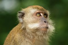De aap van Macaque het kijken Royalty-vrije Stock Fotografie