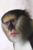De aap van Mona van Campbell Stock Afbeeldingen