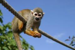 De aap van Squirell Stock Afbeelding