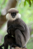 De aap van Sri Lanka royalty-vrije stock foto's