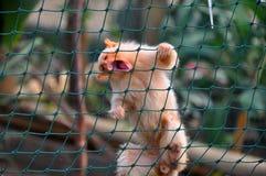 De aap van Tamarin Stock Foto's