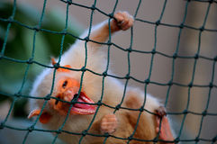 De aap van Tamarin Stock Afbeeldingen