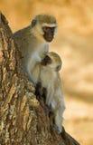 De aap van Vervet Royalty-vrije Stock Afbeeldingen