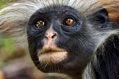 De aap van Zanzibar stock afbeeldingen