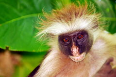 De aap van Zanzibarian Stock Afbeeldingen