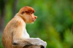 De aap van zuigorganen royalty-vrije stock foto