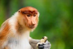 De aap van zuigorganen royalty-vrije stock afbeelding
