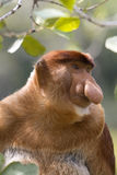 De aap van zuigorganen, Borneo royalty-vrije stock foto