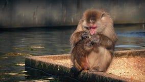 De aap verzorgt zich door Water In reserve stock footage