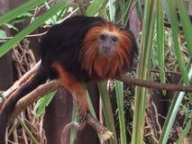 De aap ziet Royalty-vrije Stock Afbeeldingen