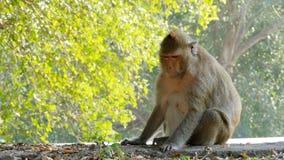 De aap zit dichtbij de weg in het nationale park thailand stock videobeelden
