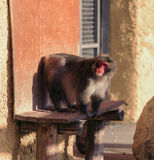 De aap zit op de speciale steun Stock Afbeelding