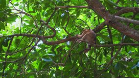 De aap zit op een boomtak in de wildernis tropisch bos van Azië stock videobeelden