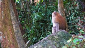 De aap zit op een rots in het tropische bos van Azië stock videobeelden