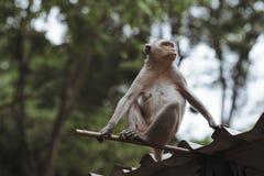 De aap zit op het dak Royalty-vrije Stock Afbeeldingen