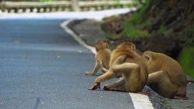 De aap zit op de weg in het park Azië, tropisch bos, nationaal park stock footage