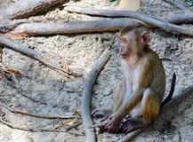 De aap zit voorwaartse blik Royalty-vrije Stock Foto's