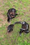 De aapfamilie van Bonobo Stock Foto's