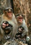 De aapfamilie van Macaque Royalty-vrije Stock Foto's