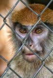 De Aapgezicht van primaatpatas Royalty-vrije Stock Afbeeldingen