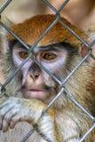 De Aapgezicht van primaatpatas Royalty-vrije Stock Foto